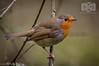 Robin (Baljinder.Gill) Tags: robin redrobin redbreastedrobin smallbirds smallbird wildlife wildlifephotography wildlifenature animalphotography animals animalsupclose animal birds birdphotography bird birdsupclose nikon nature naturephotography naturewildlife