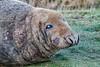 MID_0501 (mikedoylepics) Tags: seal seals greyseal donnanook lincolnshire lincolnshirewildlifetrust animals british britishwildlife d500 mammals nature nikon nikond500 wildlife wild