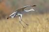 Sandhill Crane (Alan Gutsell) Tags: birding nature birds newmexico wildlife alan photo bird sandhill crane sandhillcrane flight flying largebird