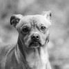 Little leggs17Dec201728-Edit.jpg (fredstrobel) Tags: dogs pawsatanta phototype atlanta blackandwhite usa animals ga pets places pawsdogs decatur georgia unitedstates us