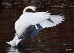 Trumpeter Swan (jt893x) Tags: 150600mm bird cygnusbuccinator d500 jt893x nikon nikond500 sigma sigma150600mmf563dgoshsms swan trumpeterswan waterfowl thesunshinegroup coth coth5 alittlebeauty
