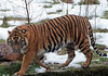 sumatran tiger Burgerszoo BB2A5851 (j.a.kok) Tags: tijger tiger sumatraansetijger sumatrantiger pantheratigrissumatrae animal kat cat mammal zoogdier dier asia azie sumatra burgerszoo