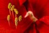 Sixpack without Alcohol (ralfkai41) Tags: makro plant amaryllis blütenblätter pflanze blossom blüte blume nature macro flower natur petals