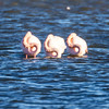 Le Trio (Shoot Enraw) Tags: hiver france aude flamandsroses bages 7003000mmf4056 etang nature