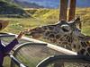 Touch my Licker (gwshamb) Tags: animal tongue giraffe nature