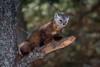 Pine marten (Joe Branco) Tags: photoshopcc2018 ontario canada joebrancophotography nikon nikona750 branco joe wildlifephotography wildlife pinemarten green