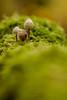 Morriña (Fran Nieto) Tags: ourense españa esp seta musgo ribeira sacra mushroom
