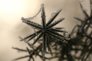 1N6A3791. étoile d'hiver.
