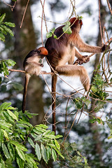 Red Colobus (davе) Tags: uganda 2017 africa canon7d canon 7d canonef70200mmf4lisusm redcolobus monkey tree animal lakenkurubanaturereservecommunitycampsite nkuruba