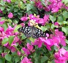 butterfly in bougainvillea (the foreign photographer - ฝรั่งถ่) Tags: butterfly bougainvillea our house bangkhen bangkok thailand sony