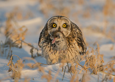 Short-eared Owl holding a vole (Thomas Muir) Tags: asioflammeus tommuir hunting woodcounty bowlinggreen ohio winter migration nikon d800 600mm midwest animal raptor vole eating bird birdwatching day outdoor nature prey predator