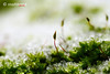 Moss (stadtbrautphoto) Tags: moss macromondays intothewoods moos waldboden forestfloor woodland forestsoil greenlandplants grünelandpflanzen thisgreencarpet wunderschönergrünerteppich feelsoftmoss softsilkymoss mossesspecies moosarten ganzweich anfühlen nature natur wald forest climateprotectors superclimate balancedclimate elegantgroundcover eleganterbodendecker garten garden ruhe calm stille silence quiet stillness placesofsilence totalquiet absolutesilence innerpeace tranqulity relaxation neubeginn start anfang anewstart newbeginning freshstart restart frost bodenfrost erstesgrün groundfrost nightfrost redux2017 myfavoritethemeoftheyear makro macro grass gras grün green