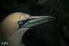 Gannet (Unst, Shetland) (Renate van den Boom) Tags: 07juli 2016 europa grootbrittannië jaar janvangent maand renatevandenboom shetland unst vogels