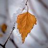 Parure de glace (watbled05) Tags: bokeh extérieur feuille givre glace plante macro