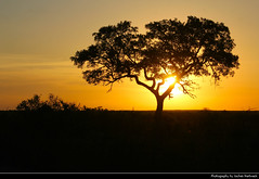 Sunset, Kruger NP, South Africa (JH_1982) Tags: landscape nature scenery scenic silhouette silhouettes tree trees sky evening yellow orange red sun glow sunset ocaso sonnenuntergang coucherdesoleil pôrdosol tramonto закат zonsondergang zachódsłońca solnedgång solnedgang auringonlasku apus залез matahariterbenam mặttrờilặn 日落 日没 غروب kwazulunatal kwazulu natal kruger np national park krugernationalpark parque nacional parc nazionale 克留格爾國家公園 クルーガー国立公園 национальный парк крюгера south africa rsa za südafrika sudáfrica afrique sud sudafrica 南非 南アフリカ共和国 남아프리카 공화국 южноафриканская республика جنوب أفريقيا