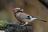 Eurasian Jay (david.england18) Tags: eurasianjay jay localpark queensparkheywood christmas monkeynuts canon 7d mkll canon7dmkll canonef300mmf4lisusm birdsuk g