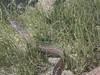 Spotted Moray Eel (Jwaan) Tags: spotted moray eel creature snake spots turtlegrass underwater britishvirginislands bvi westindies caribbean