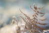 dance like no-one's watching...! (Emma Varley) Tags: frost fern bracken warmlight sparkling cold winter december westsussex bokeh dancing movement fronds