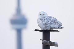 Snowy Owl (Ontario Birder) Tags:
