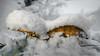 Ultimate Survivors (Rob Schop) Tags: wideangle strong f20 mushroom winter sonya6000 survivors samyang12mmf20 nederland outdoor a6000 manfrottoled900ft snow paddenstoel limburg arcen closeup