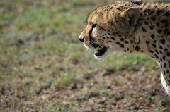 DDR_4168 (Santiago Sanz Romero) Tags: kenya wildlife animales ngc