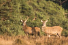 Wild encounter (Guido de Kleijn) Tags: deer reddeer hert cervuselaphus edelhert deelerwoud veluwe hogeveluwe guidodekleijn nikond500 nikon200500f56