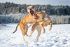 2017-12-18 (3) (annamarias.) Tags: winter wonderland snow sun beautiful dog pet american pit bull terrier pitbull staffordshire strong muscular fun blast happy