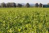 CKuchem-2088 (christine_kuchem) Tags: acker ackerrand agrarlandschaft biene bienenfreund bienenweide blühstreifen blüte boden bodenverbesserung dünger düngung eiweis eiweiserbsen erbsen feld felder grün gründünger insekten klee kulturlandschaft landwirtschaft lupinen mischung nahrung nektar phacelia pisumspec ramtillkraut sommer verbesserung winter winterroggen bio biologisch blau lila naturnah natürlich
