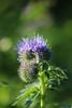 CKuchem-2044 (christine_kuchem) Tags: acker ackerrand agrarlandschaft biene bienenfreund bienenweide blühstreifen blüte boden bodenverbesserung dünger düngung feld felder grün gründünger insekten klee kulturlandschaft landwirtschaft lupinen mischung nahrung nektar phacelia ramtillkraut sommer verbesserung winterroggen bio biologisch blau lila naturnah natürlich