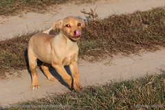 Cheerful puppy (srkirad) Tags: puppy cheerful outdoors playing playful beige tan tongue licking dubovac travel serbia srbija young
