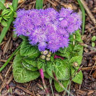 Toronto Ontario ~ Canada ~ Edwards Gardens ~ Botanical Garden - Lilac Cluster