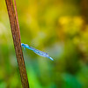 Nature, dragonfly (Zeeyolq Photography) Tags: blue dragonfly france insects jura libellules macros nature lesrousses bourgognefranchecomté fr