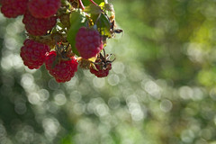 Nature's candies (natural illusions) Tags: fruit november autumn red raspberry rubus closeup dof bokeh pentax k200d rawtherapee imagemagick plant outdoor slovenia europe lb1415 allrightsreserved nature raspberries yummy delicious interesting sweet wow jesen