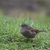 Dunnock (MJ Harbey) Tags: dunnock bird wildbird grass prunellamodularis nikond3300 nikon d3300 collegelake berksbucksoxonwildlifetrust tring buckinghamshire passerine
