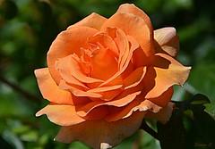 Weekend Rose  (Explore) (Eleanor (No multiple invites please)) Tags: rose orangerose hydepark london nikond7100 may2017 explore