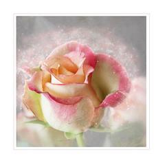 Winter rose (BirgittaSjostedt) Tags: rose soft single alone texture pastel pink paint unique art beauty frame photoborder birgittasjostedt macro flower