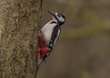 Great Spotted Woodpecker ( Dendrocopos major Male (Dale Ayres) Tags: great spotted woodpecker dendrocopos major male bird nature wildlife