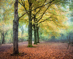 Luminescent luxuries (Ingeborg Ruyken) Tags: dropbox autumn november rosmalen bomen trees forest bos 500pxs fall natuurfotografie 2017 rosmalensezandverstuiving flickr herfst