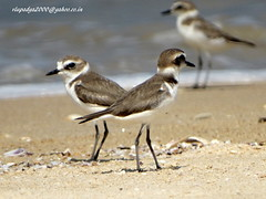 DSC01126 Kentish Plover (Charadrius alexandrinus) (vlupadya) Tags: greatnature aves fauna indianbirds kentish plover cgaradrius kundapura karnataka
