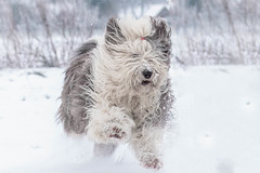 Trude the OES (lique1304) Tags: oes bobtail trude oldenglishsheepdogs pet dog snow winter 7dwf