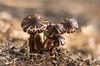 Palmeras en el huerto ...(Armillaria Mellea) (Emilio Rico Uhia) Tags: procesadas2017 setas301117 cogumelos fungos hongos monte naturaleza emilioricouhia portonovo pontevedra galicia españa d7200 105macro