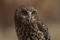 Morepork (ruru) (njohn209) Tags: birds d500 nikon nz