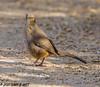 Curved-billed Thrasher (orencobirder) Tags: birds largebirds flickrexport thrashers
