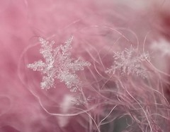 Soft landing (jilllian2) Tags: soft serene iphone snowcrystal olloclip iphone7plus frozen snowflake macro pink