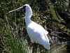 Royal Spoonbill (The Pocket Rocket, On and Off.) Tags: royalspoonbill platalearegia bluewaterslake oceangrove victoria australia