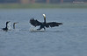 Chasing The Victorious... (Anirban Sinha 80) Tags: nikon d610 fx 500mm f4 ed vrii n g fish hunting cormorant bird fishing bokeh wing chasing waternatural