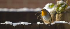 Christmas Cliche Robin (Benjamin Driver) Tags: robin christmas cliche snow fence red vivid colour color 2017 panorama wildlife bird long lens longlens winter