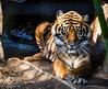 Tiger - Dec 2017 - Sac Zoo (domejohnny) Tags: wildlife outdoors saczoo zoophotography sacramentozoo zoo bigcats bigcat tiger tigers sumatrantiger