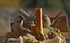 7DSC_1507b (Pep Companyó - Barraló) Tags: pardals paser domesticus aves aus ocells pajaros birds oiseaux ornitologia animals natura fauna josep companyo barralo puigreig bergueda barcelona catalunya