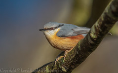 Nuthatch - (Sitta europaea) 'Z' for zoom (hunt.keith27) Tags: nuthatch sittaeuropaea beak beech tree autumn beautiful colours leaves grey plummage lichen devon woodland animal outdoor bird songbird stover country park distinguishedpictures forest wood
